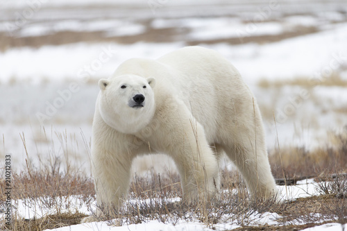 Foto op Canvas Ijsbeer Polar Bear in Hudson Bay near the Nelson River