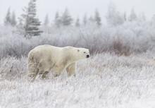 Polar Bear In Hudson Bay Near The Nelson River