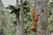 Red Squirrel Acrobat