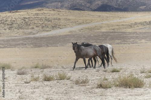 Onaqui Herd wild mustangs in the Great Desert Basin, Utah USA Poster