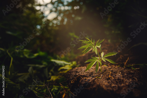 Cannabis plantation in sunlight. Bush green marijuana