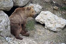 Brown Bear Sitting Near Its Den
