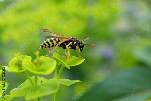 Fényképezés Wespe - Stockfoto