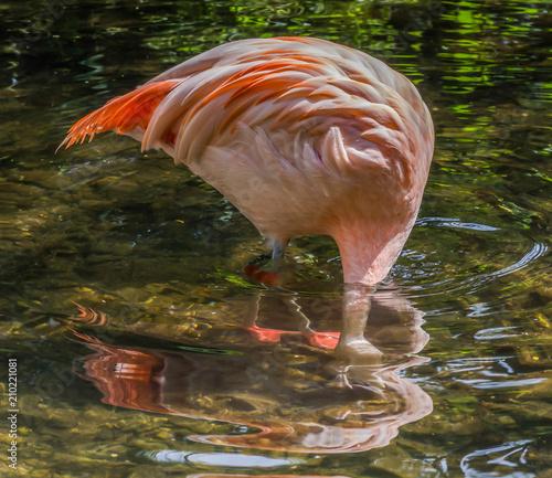 Foto op Aluminium Flamingo Flamingo feeding under water