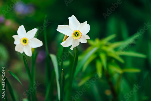 Fotobehang Narcis Two beautiful white flowers of narcissus with yellow center on green sunlight background close up. Small daffodils in macro with copy space in greenery. Bright sunny backdrop with romantic plants.