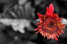 Red Flower On Dark Background