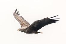 White Tailed Eagle (Haliaeetus...