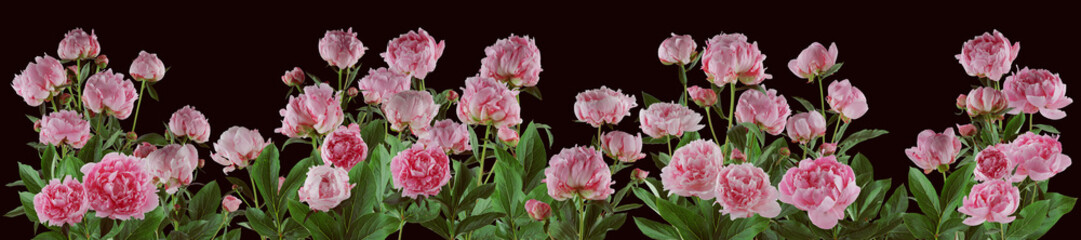 Fototapetabeautiful full pink flowers and plants of peonies isolated, can be used as background