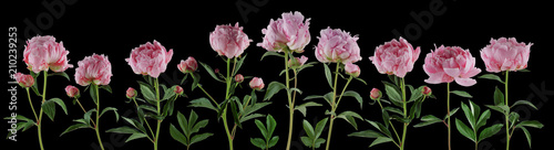 beautiful full pink flowers and plants of peonies isolated, can be used as background
