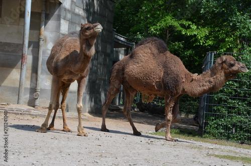 Foto op Canvas Kameel wild camel