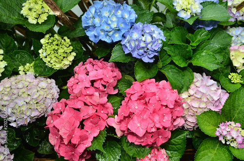 Poster Hydrangea Hydrangea flowers blossoming in spring