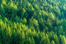 Green Forest Of Fir And Pine T...
