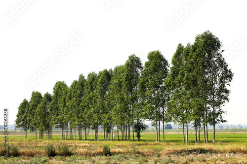 Fotografia, Obraz  Eucalyptus forest in farmland rice Thailand, for paper industry
