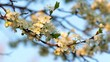 Sunlit cherry white blossom with yellow stamens and new tiny green leaves