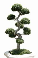 Tree Dwarf Decorate Or Bonsai Garden Tree Isolated On White Background