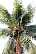 Coconut Farm, Plantation Cocon...