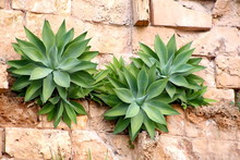 Agave Attenuata Plants Growing On A Brick Wall.
