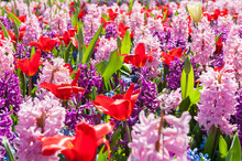 Blooming Pink Hyacinth And Red...
