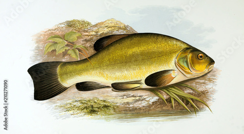 Illustration of fish. tench Canvas-taulu