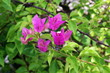 Purple bougainvillea flower on daylight, Panicle Bunch Fragrant pink and purple, flower with blurred background