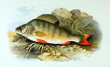 Illustration Of Fish. Perch