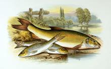 Illustration Of Fish. Gudgeon,...