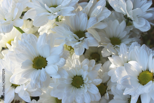 Papiers peints Marguerites white marguerites