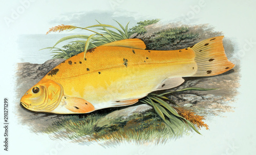 Fotografia, Obraz Illustration of fish. golden tench