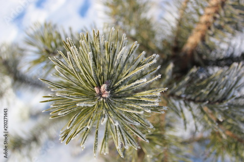 Photo  Pine branch in winter frost