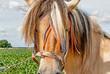 Liebevoll dekoriertes beige-golden Norwegisches Fjordpferd