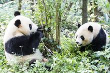林で遊ぶパンダ