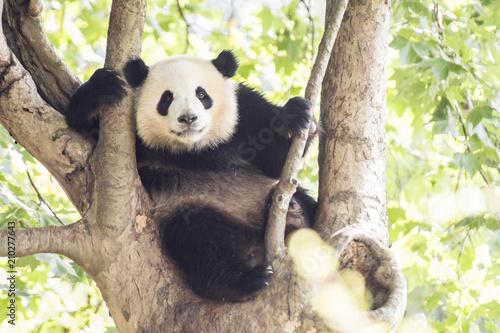 木登りするパンダ