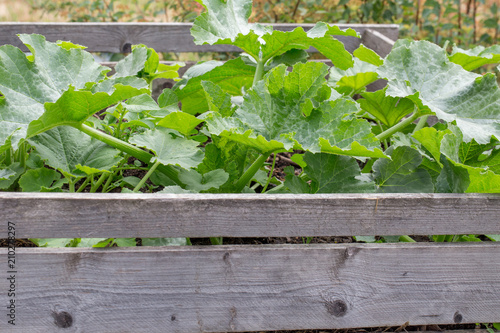 Plants grow in high beds in the garden. Young vegetable plants Squash, vegetable marrow in spring, early summer. Country style.