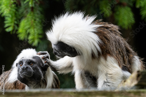 Cotton-top tamarin (Saguinus oedipus) little monkeys
