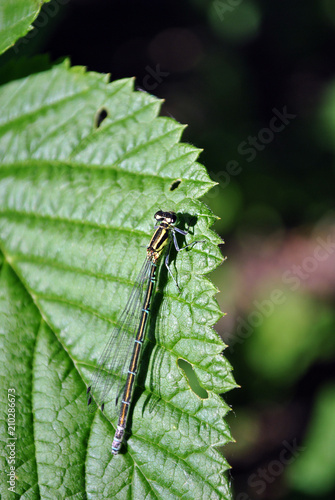 The Irish damselfly or crescent bluet (Coenagrion lunulatum) male sitting on green raspberry leaves top view close up detail, soft dark green blurry background
