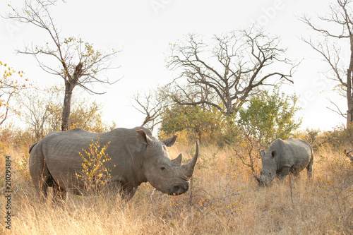 Fotobehang Neushoorn African White Rhino in a South African Game Reserve