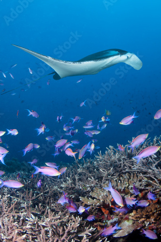 Wall Murals Diving Manta Ray swimming over a colorful, healthy tropical coral reef
