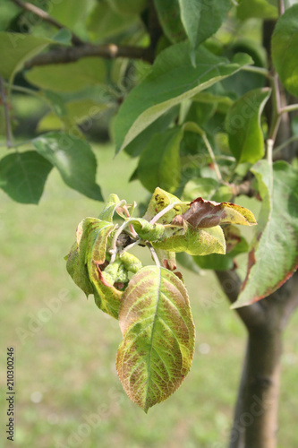 Fotografia  Apple tree leaves with brown spots and edges damaged by infection disease