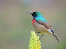 Double Collared Sunbird (Cinny...