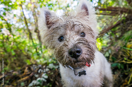 Obraz Dirty west highland terrier westie dog with muddy face outdoors in nature - fototapety do salonu