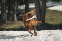Irish Setter Dog Playing With Stick On Snow-covered Glade