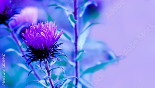 Canvas Print Art photo of Carduus crispus plant with purple flower close-up on natural blurred background
