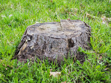 Close-up Of An Old Lonely Grey Tree Stump On A Field Or On Green Grass. High-quality Macro Photography.