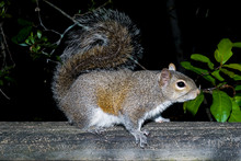 Closeup Photo Of The Eastern Grey Squirrel. The Species Name Is Sciurus Carolinensis. It Can Be Found In Woodland And Urban Areas Near Oaks And Hickories In The East And Middle West Of USA.