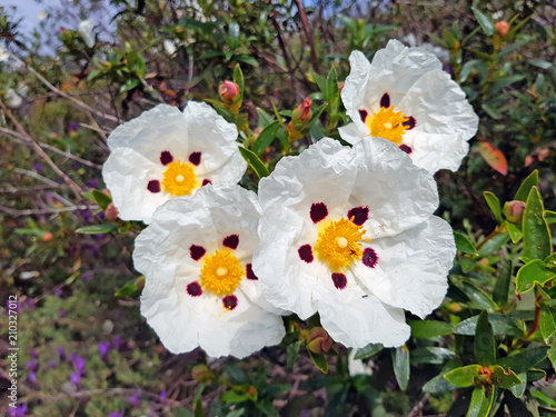 Blossoming gum rock rose - cistus ladanifer in the heath fields from Alentejo in Canvas Print