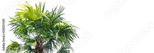 freigestellte palme