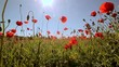 Poppies in the field against the background of bright sunlight. The slight wind waves the flowers in an amazing way