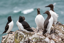 A Guillemot (Uria Aalge) On A ...