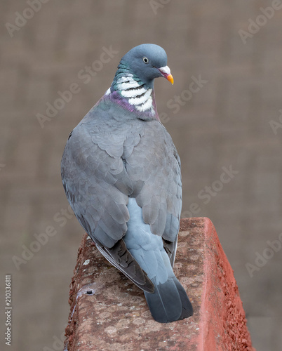 Common Wood Pigeon(Columba palumbus) on a brick