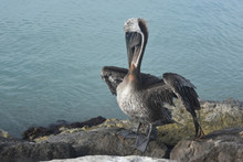 Close Up On A Wild Pelican Sta...